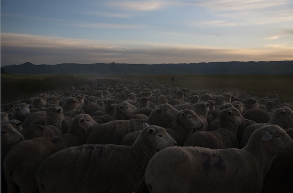 Herding Lamb, photo by Penny De Los Santos